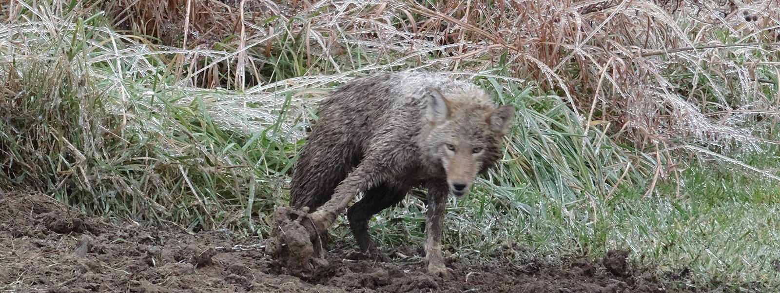 Header coyote Bont voor Dieren