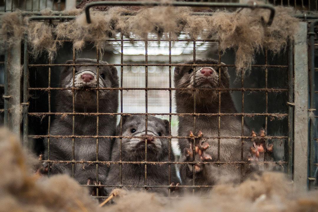 Nertsen in een kooi